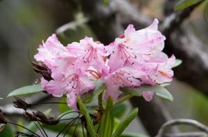 Rhododendren-Blüte